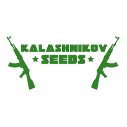 PURPLE MAZAR Autofloraisons - KALASHNIKOV SEEDS